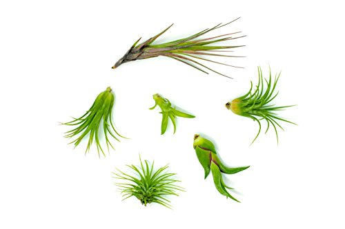6 Air Plant Variety Pack - Small Tillandsia Terrarium Kit - Assorted Species of Live Tillandsia Tropical House Plants for Sale, 2 to 5 Inches Each - Air Plants for Indoor Home Decor