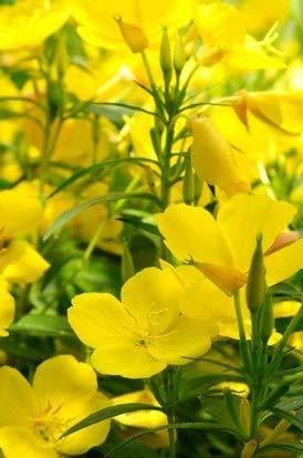 Nachtkerze Oenthera biennis 2-jährig Heilpflanze 500 Samen