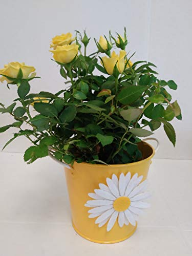Live Mini Yellow Rose Bush in a Daisy Gift Pot - 4 Inch Indoor Plant