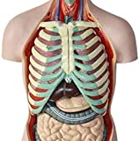 modello di anatomia modello di anatomia del corpo umano del corpo, modello umano del busto modello anatomico degli organi interni rimovibili anatomici, 17 parti per gli studenti della classe per l'ins