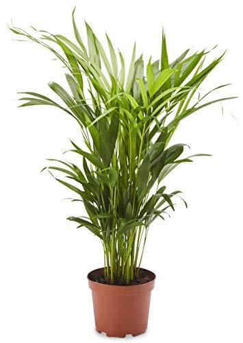 AIRY Goldfruchtpalme (Dypsis lutescens), Luftreinigende Zimmerpflanze verbessert die Luftqualität, Topf-Ø 17 cm, Höhe ca. 70 cm, Sicherer Pflanzen Versand, Qualitätskontrolle, Deutsche Gärtnerei