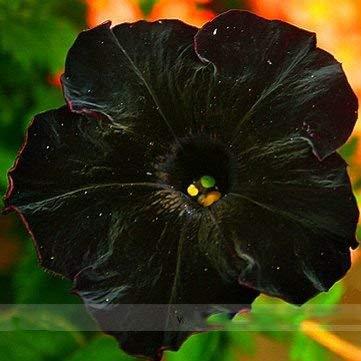 PlenTree Semillas adb Inc Raras Super Cat Negro flor de la petunia