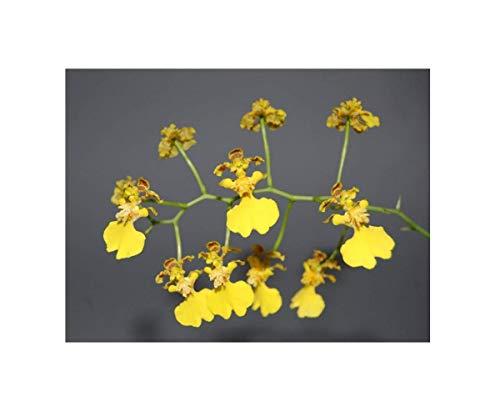 Stk - 1x Oncidium blanchetii Meristem Sorte gelb Orchidee Pflanze OW150 - Seeds Plants Shop Samenbank Pfullingen Patrik Ipsa
