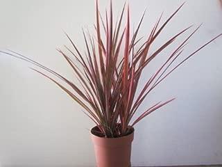 Dracaena Marginata Colorama - Tri-color Dragon Tree Houseplant From Jm Bamboo