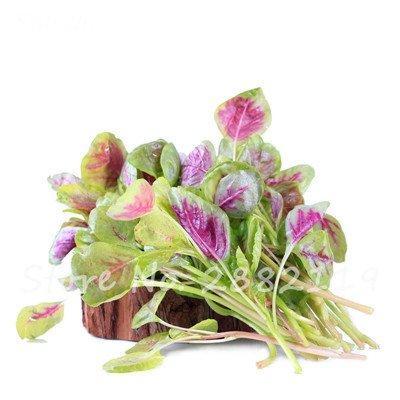 Herb Amaranthus Tricolor Seeds 50 Pcs graminée Semente non Ogm végétale comestible Bonsai Plante en pot sain sucré 8