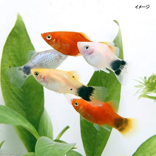 (熱帯魚)ミックスプラティ(4匹) 北海道航空便要保温