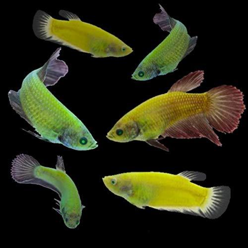 GloFish Live Fish Collections (Betta Sorority)