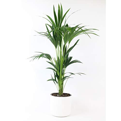 Howea forsteriana | Kentia Palme | Luftreinigende Zimmerpflanzen | Zimmerpalme groß mit Topf | Höhe 90-100 cm | Ø 21 cm | Übertopf 25x23 cm