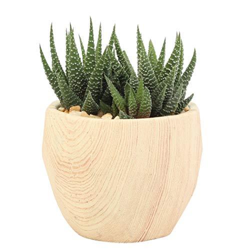 Costa Farms Haworthia Succulent Grower's Choice Live Indoor Plants, Wood Design Ceramic, Round