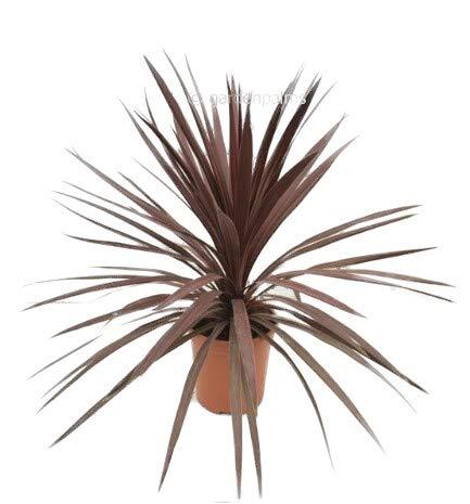 WINTERHARTE Rote Keulenlilie - Cordyline australis Red Star - verschiedene Größen (60-70cm - Ø 22cm)