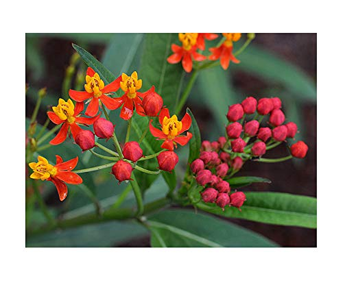 Tropical Milkweed - Asclepias Currassavica Seeds - Food and Host Plant for Monarch Butterflies. Will Grow All Over The United States.