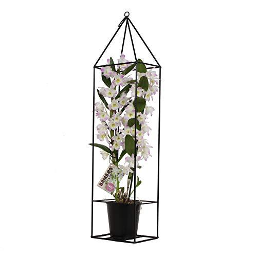 Orchidee von BAMBOO ORCHID – Bambus Orchidee in schwarzem Metallrahmen als Set – Höhe: 78 cm, 2 Triebe, weiß-rosa Blüten – Dendrobium nobile Kumiko