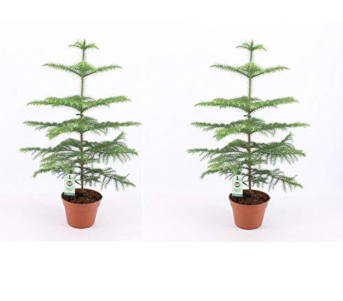 Zimmertanne 40 cm Araucaria heterophylla Norfolk-Tanne Zimmerpflanze