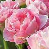 UtopiaSeeds 5 Angelique Tulip Bu...