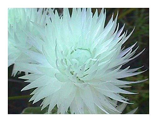 SANHOC Semi Pacchetto: Syncarpha vestita - neve - 10 seedsSEED