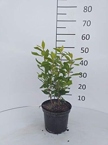 Späth Silberkerzenstrauch 'Pink Spire' LH 60-100 cm im 3 Liter Topf Zierstrauch winterhart Gartenpflanze blühend 1 Pflanze