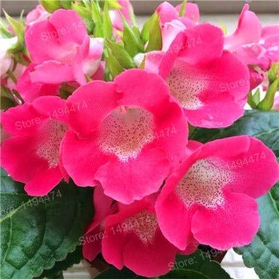 Generic Fresh 100pcs Gloxinia Flower SEEDS zum Pflanzen von Pink 3