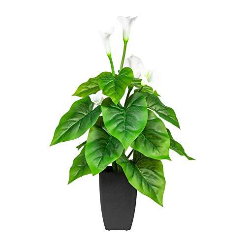 Pflanzen Kölle Calla, weiß, ca. 66 cm, im eckigen Kunststofftopf