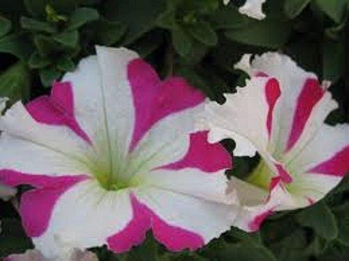 30 graines - Petunia étoile Rose Graines de fleurs/longue durée annuelle