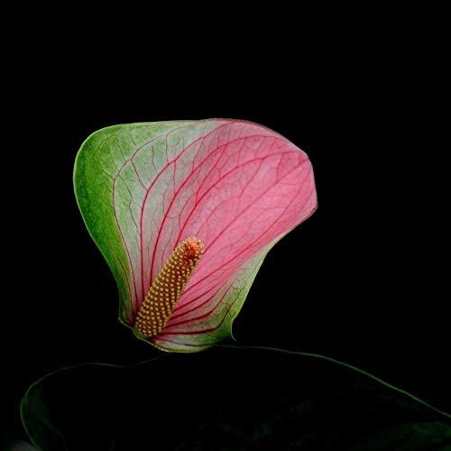 200pcs rose rare + graines de anthurium vert, andraeanum grains, bonsaï graines de pots de fleurs Balcon fleurs pour le jardin maison bricolage