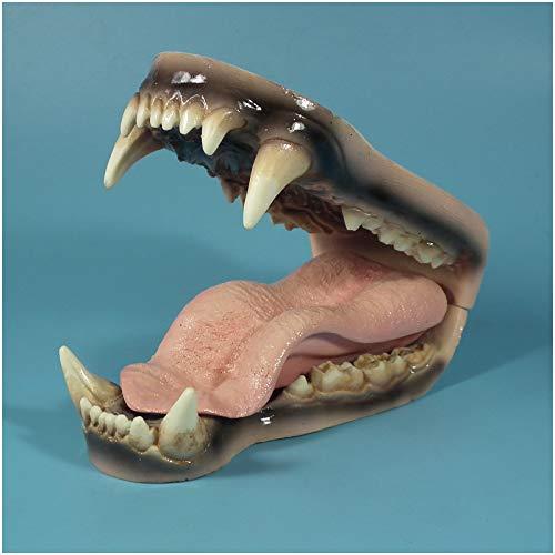 FHUILI Djur tänder undervisning modell - isbjörn tänder anatomi modell - björn tandvård tänder studie lärande modell - för veterinär studier undervisning visning, A