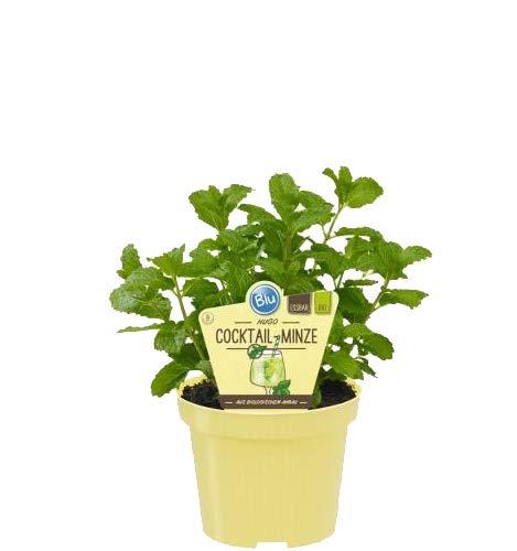 Bio Minze Hugo-Cocktail-Minze (Mentha spicata), Kräuter Pflanzen aus nachhaltigem Anbau, (1 Pflanze)