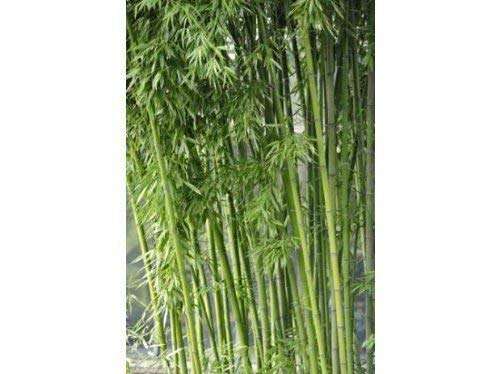 100 semillas de bambú Fargesia/borinda Yunnanensis