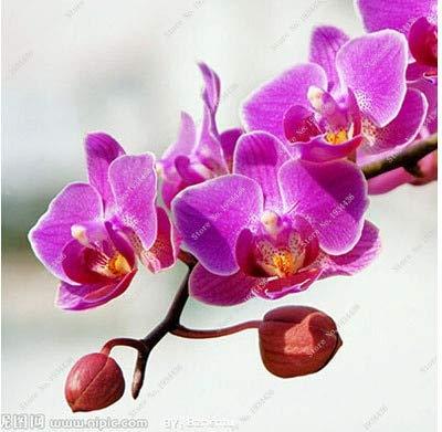 HONIC Yellow Phalaenopsis Mini Orchid Flowerpots Indoor & Outdoor Bonsai Orchideen Phalaenopsis Topf 100 PC vieler 2018 19