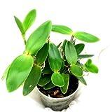 1 blühfähige Orchidee der Sorte: Cattleya intermedia