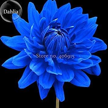 Visa Store Semences de fleurs de dahlia bleu rares de vente chaude de 2018, 50 graines, belles graines de plantes de jardin en plein air, illuminent votre jardin E3578