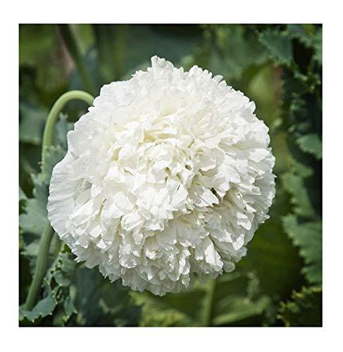 Stk - 100x Papaver paeoniflorum White Cloud Mohn Staude Pflanzen - Samen B33 - Seeds Plants Shop Samenbank Pfullingen Patrik Ipsa