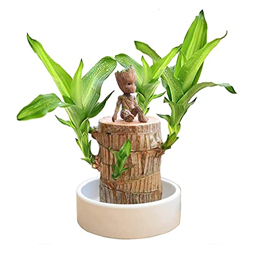 Mini Brazil Lucky Wood - Magical Sprouting Lucky Bamboo Wood, Hydroponic Potted...