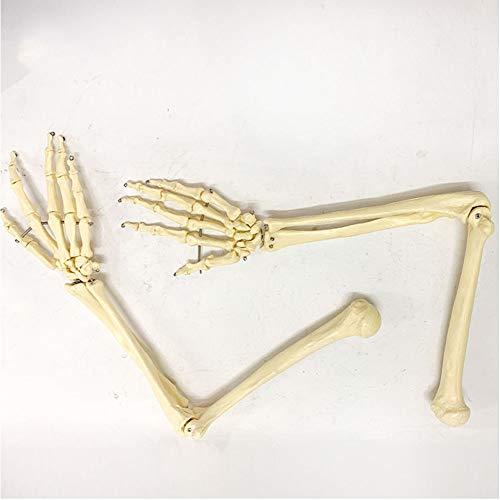 Lange Menselijke Arm Skeleton, Inclusief Alle Arm Bones Plus Clavicle, Gemaakt door Hand-Piercing, Het demonstreert De Beweging van Palm En Arm Gewrichten