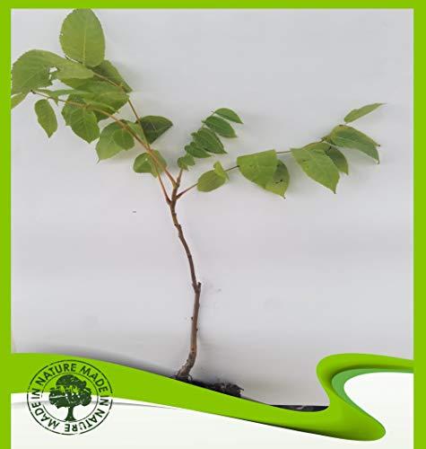Juglans Nigra (Schwarzer Walnuss) – Pflanze