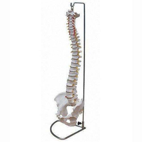 Wirbelsäule Modell mit Becken inkl. Ständer - Anatomie Modell - Skelett Modell