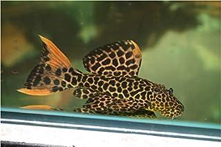 【熱帯魚・オトシン・プレコ】 オレンジフィンレオパードトリム ■サイズ:SMサイズ (4匹)