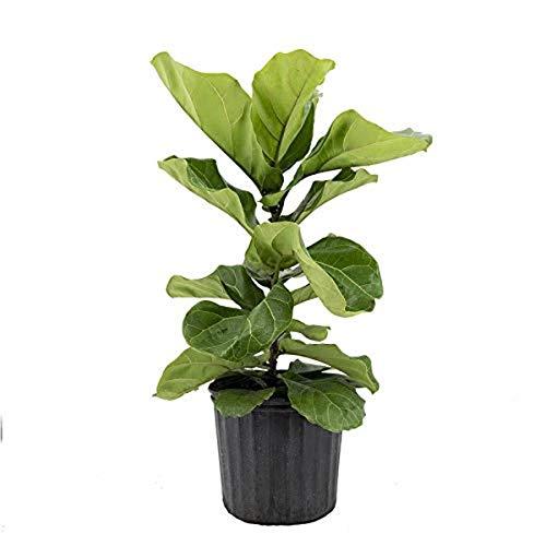 AMERICAN PLANT EXCHANGE Fiddle Leaf Fig Ficus Lyrata Live Plant, 10' Pot, Green...