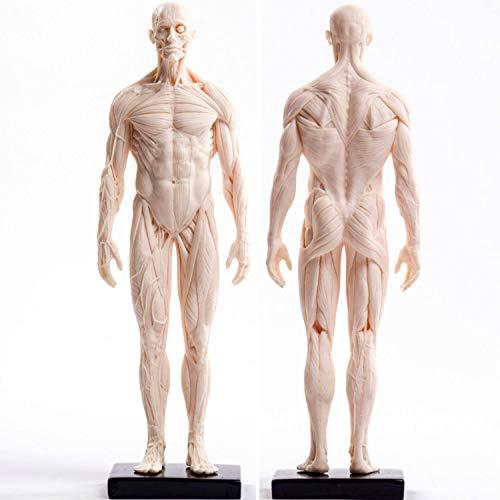Sculpture Statuette Menschliches Skelett Anatomische Malerei Modell Für Anatomische Anatomie Skull Skulptur Kopf Körper Muskel Künstler Zeichnen (Mann Muskel) Statue Artwork Für Wohnzimmer Tisc