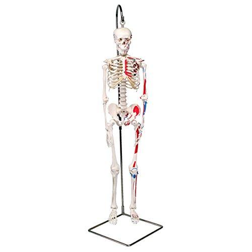 3B Scientific Menschliche Anatomie - Mini-Skelettmodell mit Muskelbemalung an Hängestativ + kostenloser Anatomiesoftware - 3B Smart Anatomy