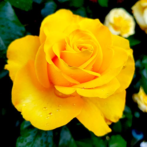 'Golden Wedding' Floribunda Rose Bush/Plant for 50th Wedding Anniversary 3fatpigs
