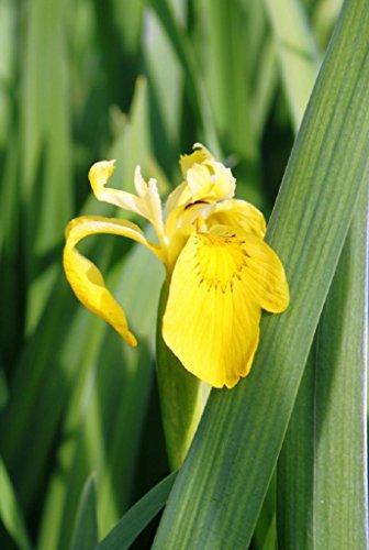 4er-Set im Gratis-Pflanzkorb - Iris pseudacorus - winterhart - Staude des Jahres 2016 - Wasserschwertlilie - Sumpfschwertlilie, gelb - Wasserpflanzen Wolff