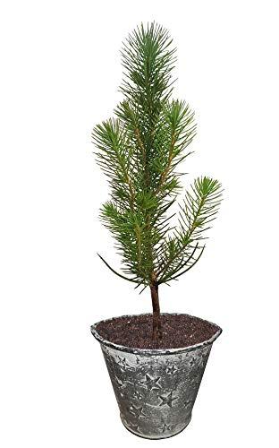 Seedeo® Mittelmeer Pinie (Pinus pinea) Pflanze 1 Jahre Geschenkedition Topf mit Sternen
