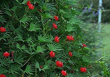 Fash Lady Enorme Cherry Queen Zinnia! - 20 semi!Oltre 2 piedi!Pettine. S/H!Grandi fiori recisi!