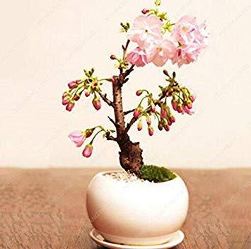 Vistaric 20 graines mini graines de sakura rose Belle cerise orientale Sakura Tree bonsaï parfumée fleur de cerisier allumer jardin rouge