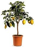 Agrumi pianta vera ALBERO DI LIMONE SIRACUSANO - CITRUS LIMON -Ø 20 CM - H 80 CM