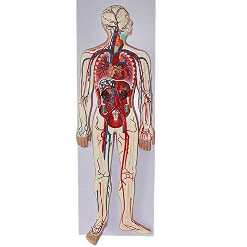 FSFF Modelo de Sistema circulatorio de Sangre Humana - Estru