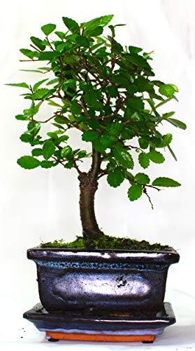Chinesische Ulme Bonsai-Baum-Besen-Stil – 10 cm zeremischer Topf und Lieferung mit Keramik-Tropfschale, kein Pflegeset