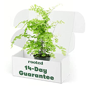 Rooted Maidenhair Fern - Adiantum aethiopicum | Live Air-Purifying Elegant Houseplant  4-inch Pot