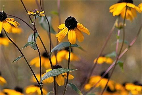 50 Ozark Gold CONEFLOWER Echinacea Paradoxa Yellow Bushs Coneflower Flower Seeds