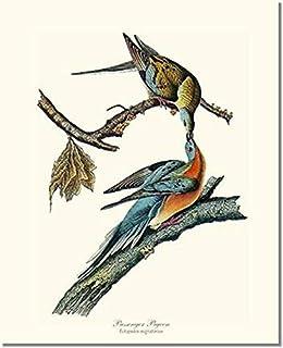 Vintage Gannet  Bufflehead Audubon Bird Print Vintage Mid-Century Full Color Art Illustration Nice Wall Art Audobon